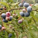 5 Tips for Picking Georgia Grown Blueberries