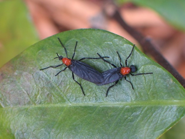 Lovebugs on leaf